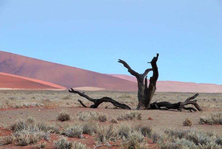Bare tree on desert against clear blue sky