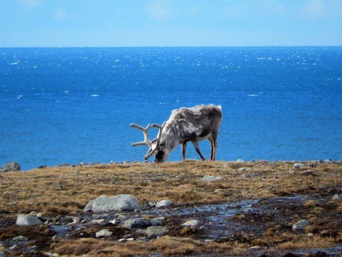 Svalbard Reindeer Grazing Against Calm Sea