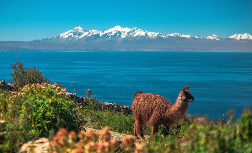 Llama standing by lake against blue sky