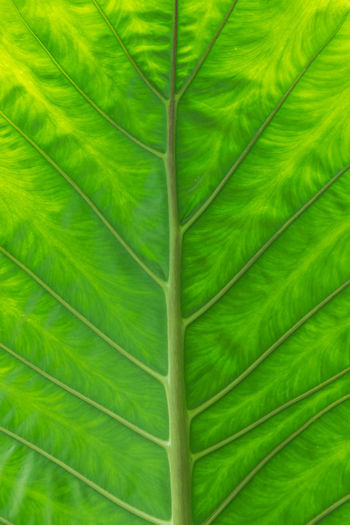 Detailed pattern and green leaf background, leafy elephant ear in a garden.