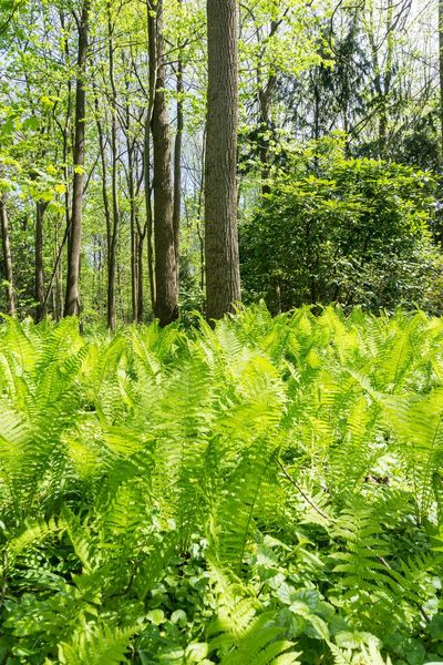 Green Ferns on a sunny Day in Spring Ferns Fern Green Nature Outdoor Spring Scenics Grass Growth Growing Close-up Freshness Chlorophyll Photosynthesis Forest Sunlight Background Plants Colors Vegetation Botanic Flora Morning Light New Life Trees