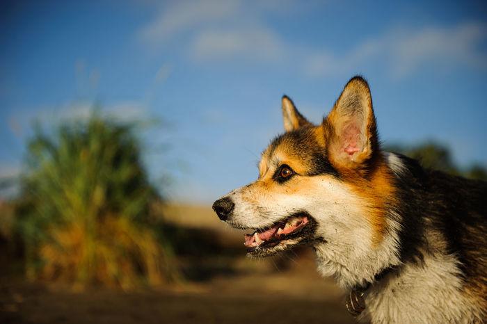 Welsh Pembroke Corgi dog Corgi Dog Domestic Animals Horizontal Natural Light No People Outdoors Pembroke Corgi Pembroke Welsh Corgi Pet Pets Sky Welsh Pembroke Corgi