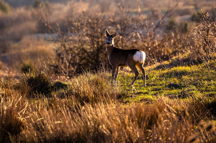 Animal Themes Animal Wildlife Animals In The Wild Beauty In Nature Day Deer Field Grass Mammal Nature No People One Animal Outdoors Safari Animals Standing