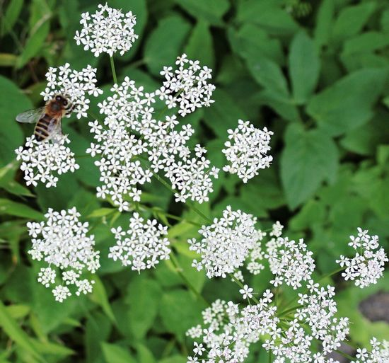 Cow Parsley White Flower Flowers Flower Collection Flowers,Plants & Garden Beauty In Nature