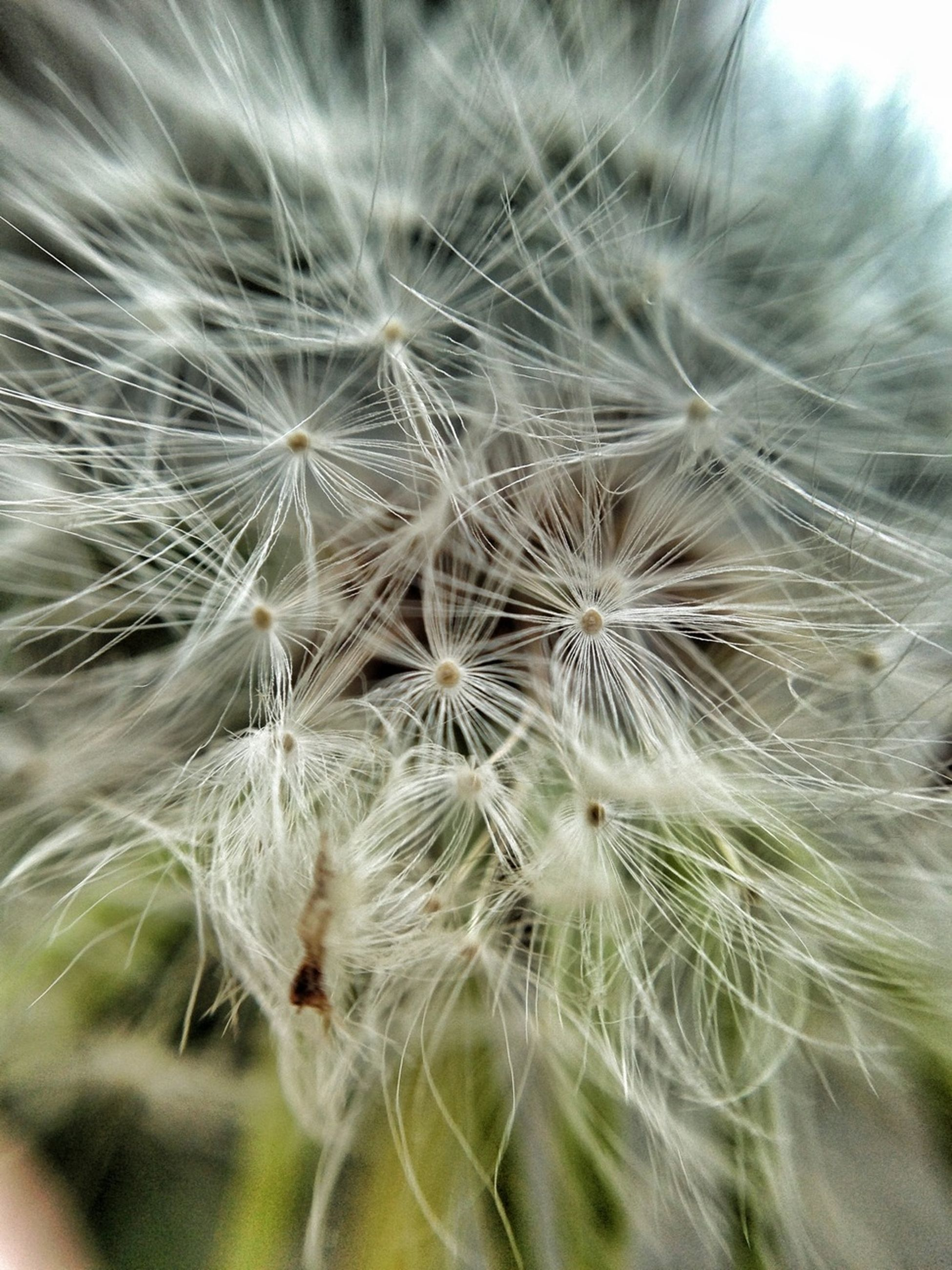 dandelion, flower, fragility, close-up, growth, freshness, softness, flower head, nature, beauty in nature, selective focus, focus on foreground, white color, plant, single flower, wildflower, seed, dandelion seed, uncultivated, day