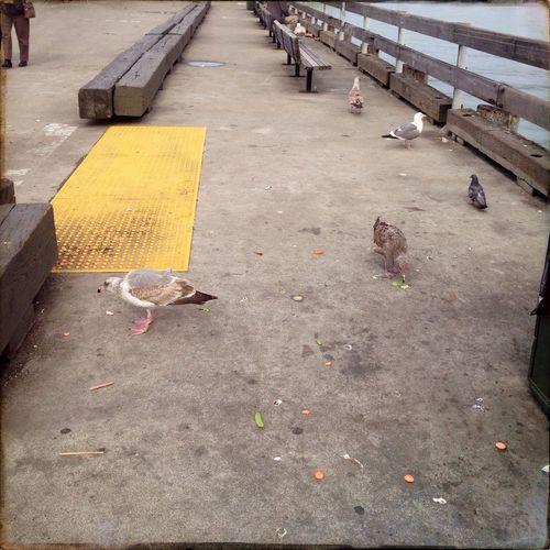 6 gulls, 1 person Sea Gull Dock Oggl Hipstamatic