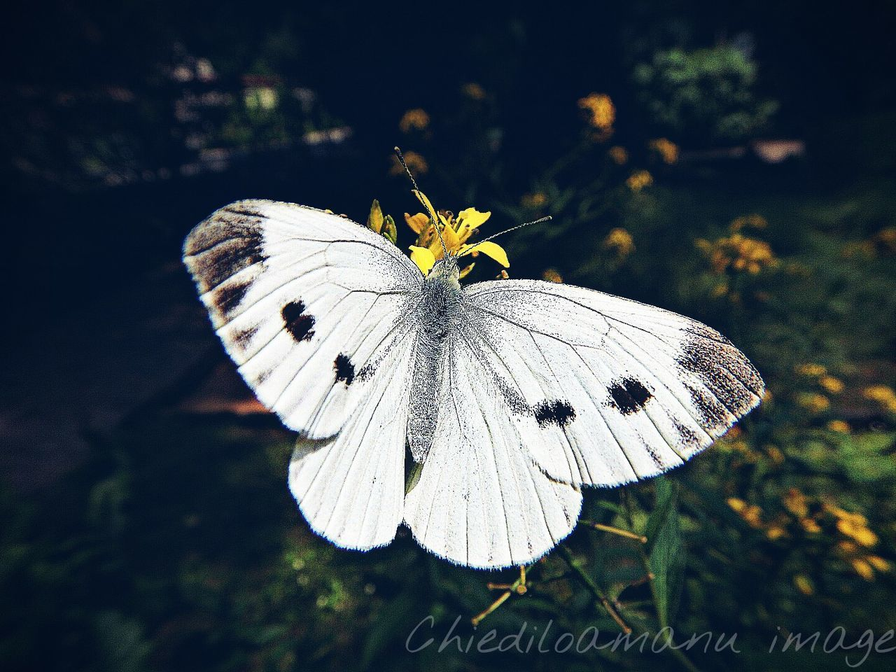 insect, animals in the wild, butterfly - insect, animal themes, butterfly, one animal, no people, nature, focus on foreground, plant, outdoors, fragility, animal wildlife, close-up, day, beauty in nature, spread wings, freshness, flower, perching, flower head
