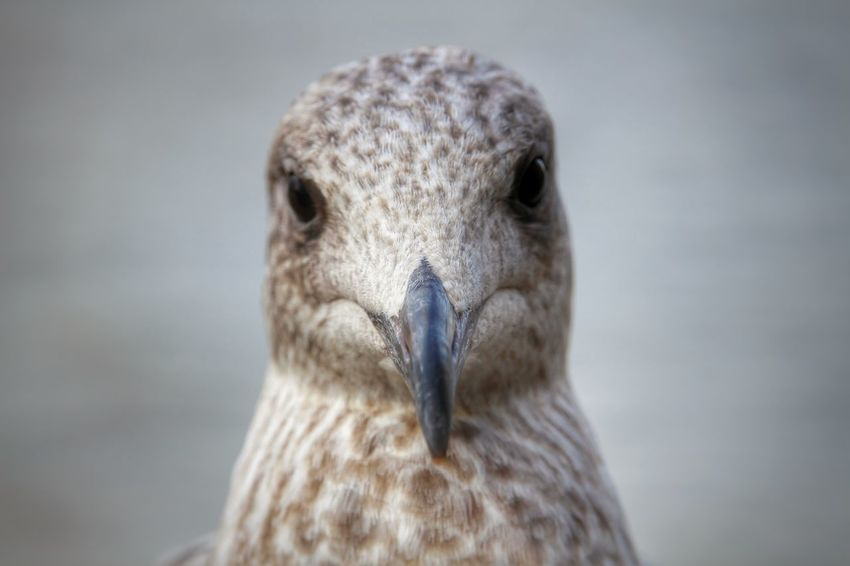 Bird Photography Fly Harbor Harbour Animal Animal Head  Animal Themes Animal Wildlife Animals In The Wild Beak Bird Cloesup Close-up Curious Cute Feather  Focus On Foreground Gull Looking At Camera Nature No People One Animal Portrait Seagull Water