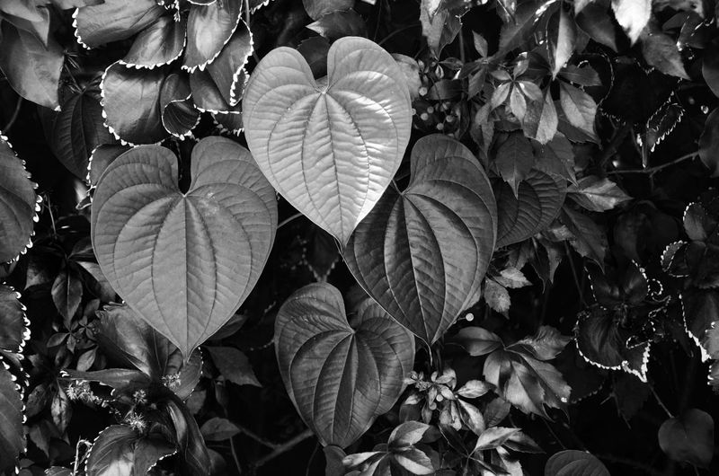Welcome to the city where the heat is on! Leaves at the side of the pool in Miami. Black & White Black And White Black&white Blackandwhite Blackandwhite Photography Blackandwhitephotography Close-up Detail Heart Heart Leaf Heart Leaves Heart Shape Heart Shaped  Heart Shapes In Nature Heart ❤ Hearts Heartshape Leaf Leaf Vein Leaves Leaves_collection Love Natural Pattern Nature Plant