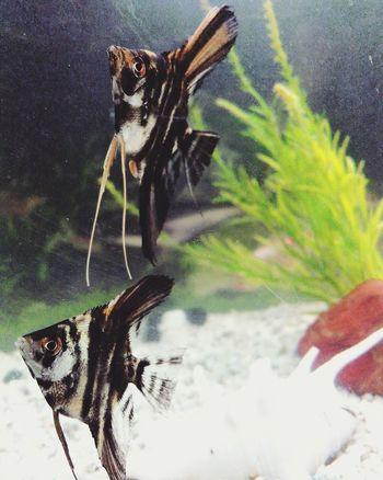 Animal Themes Fishes Angelfish Aquarium Life Aquarium Nature EyeEmNewHere Redmi Redminote4photography Pets EyeEmNewHere