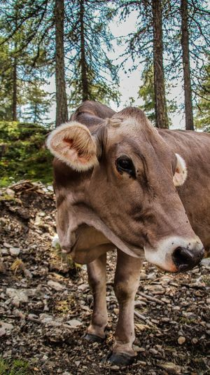 Cow standing in a forest