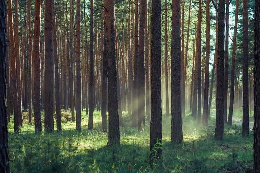 Dusty haze in the woods Haze Dust Spring Afternoon Light Tree Forest Land Plant WoodLand Trunk Tree Trunk Beauty In Nature Tranquility Growth Nature Non-urban Scene Tranquil Scene Scenics - Nature Environment No People Green Color Day Sunlight