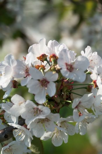 Flower Flowering Plant Growth Fragility Beauty In Nature Freshness Plant Vulnerability  Petal Close-up White Color Flower Head Blossom Springtime Nature Tree Day No People Inflorescence Outdoors Cherry Blossom Bunch Of Flowers Spring