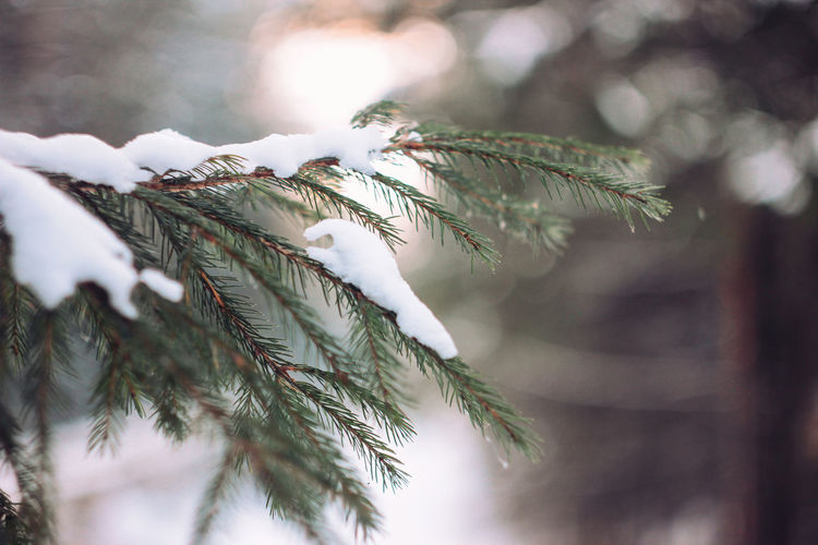 Winter forest fir branches in snow close up background Plant Tree Growth Close-up Nature Focus On Foreground Branch Pine Tree Leaf Day Beauty In Nature Selective Focus No People Cold Temperature Plant Part Winter Snow Green Color Needle - Plant Part Coniferous Tree Outdoors Fir Tree