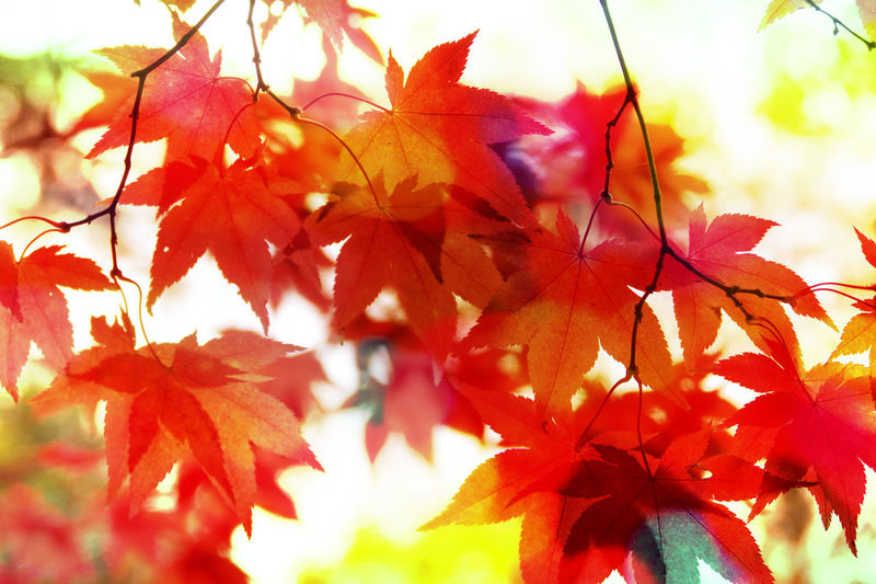 Autumn Leaves Maple Leaves Acer Tree Colour & Light Coloursplash Creative Light And Shadow Red Orange YellowCreative Art