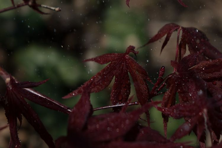 Tree Leaves EyeEm Nature Lover Tranquility Fast Shutter Speed Nature EyeEm Best Shots Raining Rain Acer Palmatum Acer Japanese Maple Maple Leaf Water Drops Red Close-up RainDrop Wet Water Drop