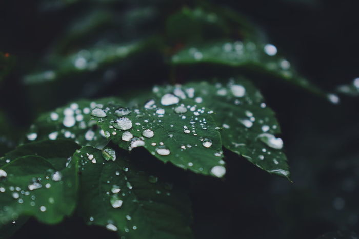 Beauty In Nature Close-up Day Drop Fragility Freshness Green Color Leaf Nature No People Outdoors Periwinkle RainDrop Water Wet