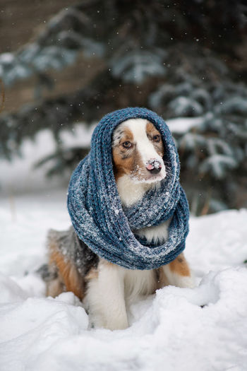 Australian shepherd. hipster dog. a chilly puppy in a knitted hat. warm winter clothes for pets