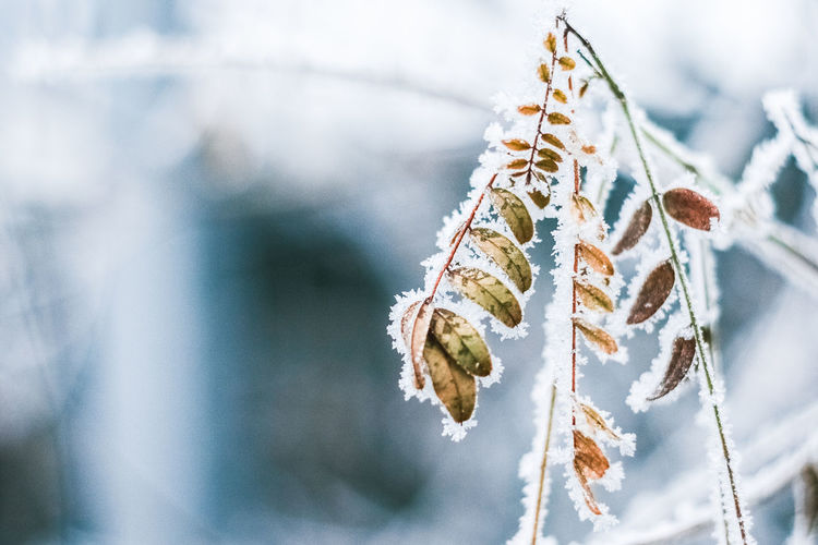 LOW ANGLE VIEW OF DRY LEAVES ON SNOW COVERED TREE
