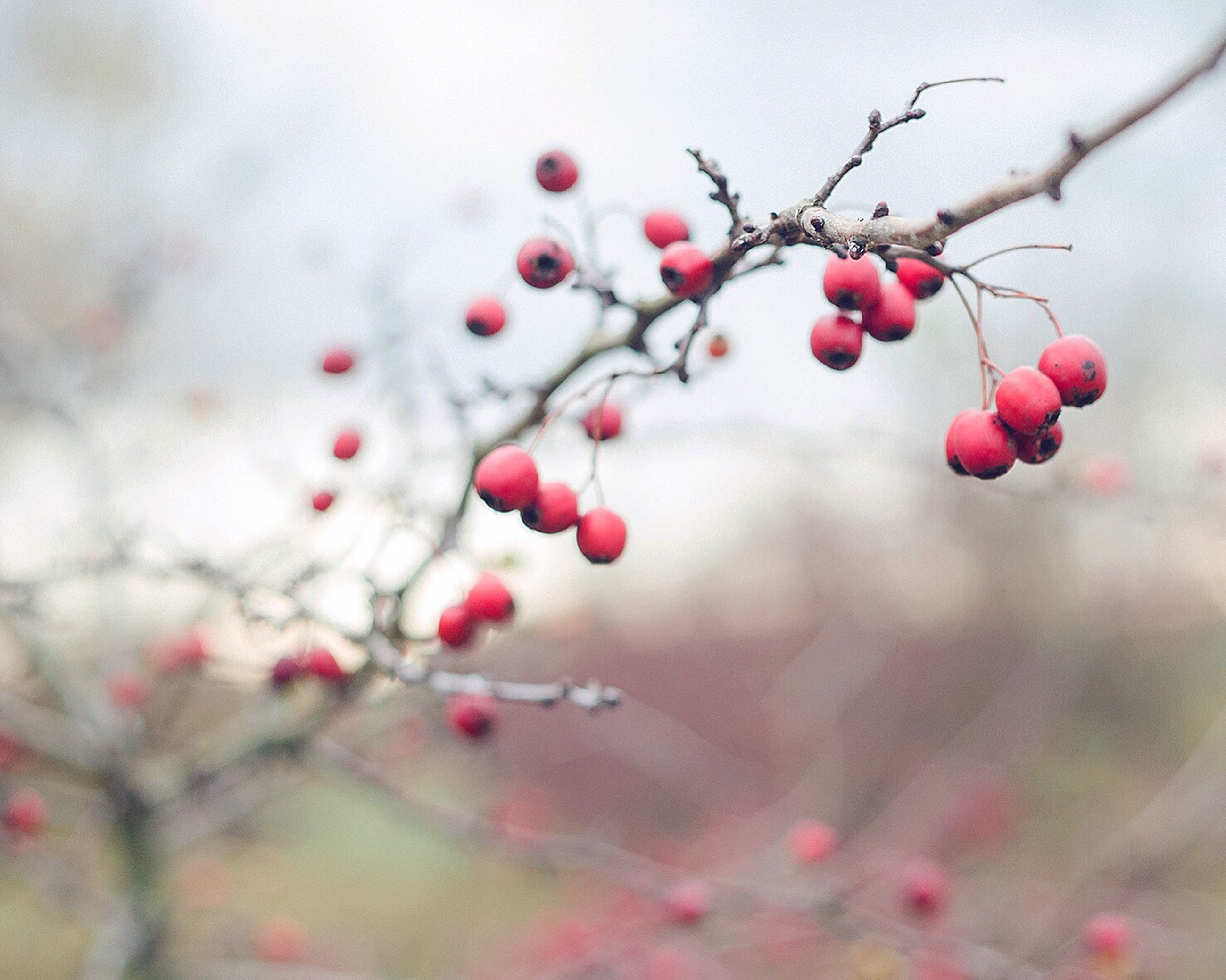 fruit, nature, close-up, growth, tree, red, focus on foreground, outdoors, no people, day, freshness, beauty in nature, rose hip, branch, rowanberry