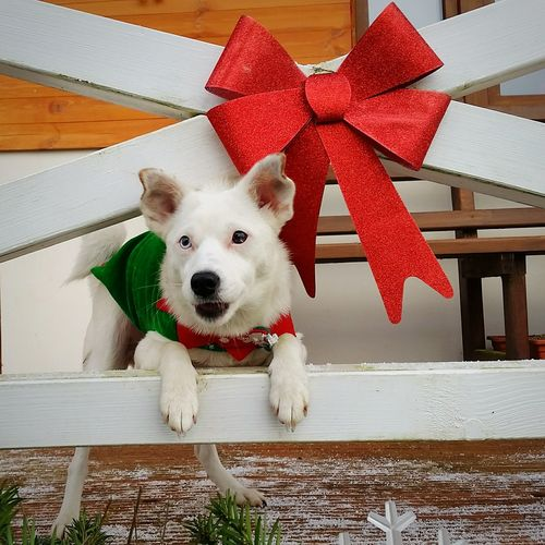 Sati Whitedog Mixdog Mongrel Mutt Funny Puppy Dogsmiles Cutedog Dog Pets Christmas One Animal Domestic Animals Looking At Camera Cute Portrait Christmas Decoration Christmas Present Animal Themes