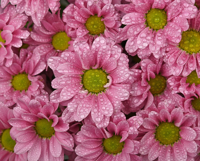 Close up pink Chrysanthemum flowers with water drops after the rain Flower Chrysanthemum Pink Color Flowering Plant Freshness Plant Petal Beauty In Nature Close-up Flower Head Full Frame Inflorescence Fragility Vulnerability  Backgrounds Growth Nature No People Abundance Drop Springtime Softness Purple Dew Raindrops Rain Drops After The Rain Morning Dew Textured Effect Pattern