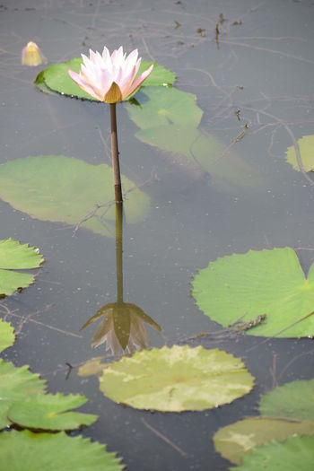 lotus South India Nikon Nikond5300 Beauty Day Photography Day Funtimes Banglorediaries Flower Water Flower Head Lotus Water Lily Leaf Water Lily Floating On Water Reflection Pond Close-up