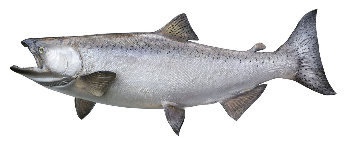 Close-up of chinook salmon over white background