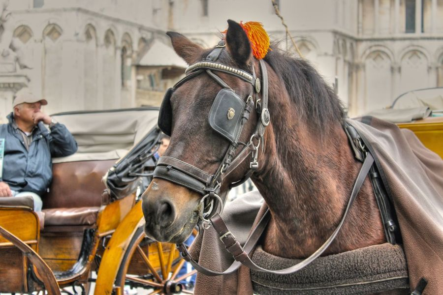 Bridle Carriage Day Domestic Animals Horse Horse Cart Horsedrawn Italy Livestock Mammal Men One Animal Outdoors People Working Animal