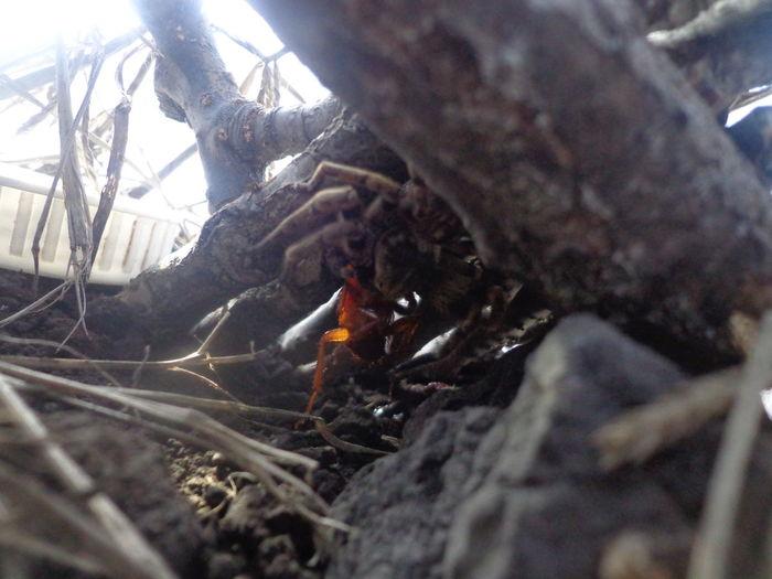 Polybetes Pythagoricus 2014 Petlover Araña Eating Cucaracha First Eyeem Photo