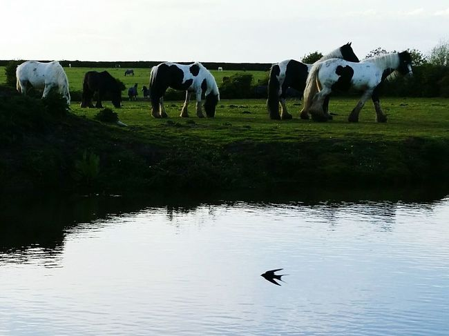 Swift And The Horses Taking Photos Horses Bird Little Swollow Swift Summers Evening