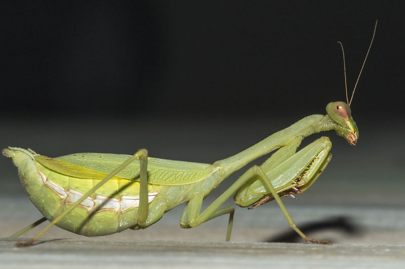 pregnant praying mantis Animal Themes Animal Wildlife Animals In The Wild Close-up Insect Macro One Animal Praying Mantis Pregnant Praying Mantis