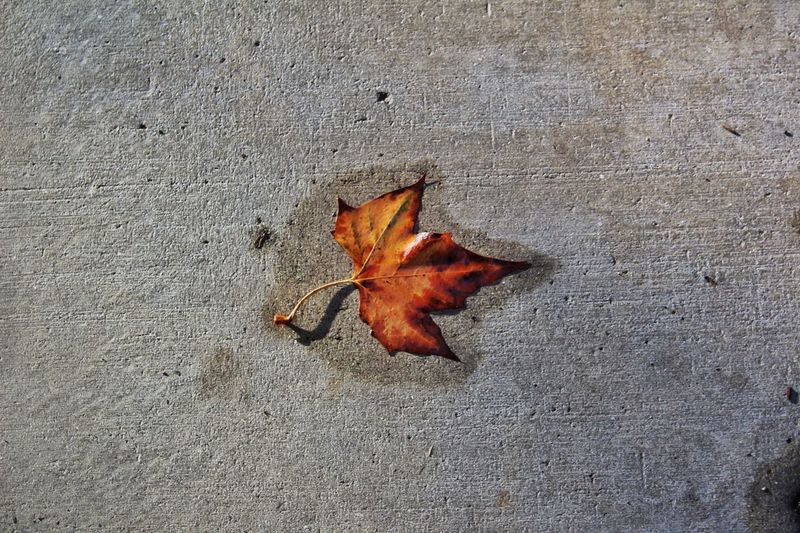 Rain soaked Change Leaf Autumn Outdoors Maple Leaf Nature Beauty In Nature Simplicity Taken For Granted Rain Rainy Days In A Drought Sidewalk Sidewalk Discoveries Sidewalk Photography Concrete Wet Wet Sidewalk Solo Only One Single Its The Little Things