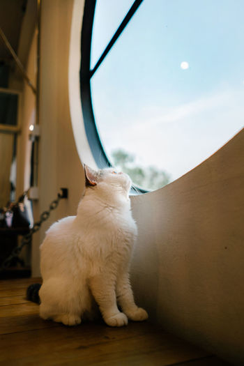 White cat sitting on table