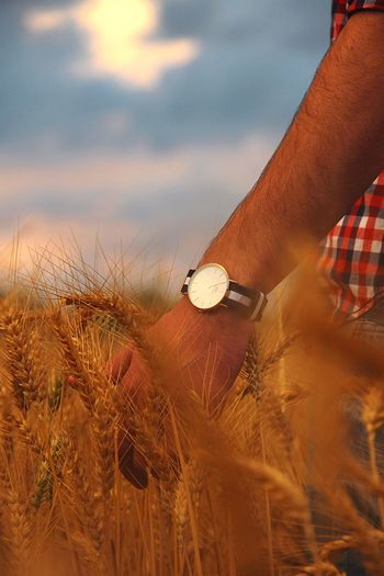 Cropped hand of man hand on wheat field during sunset