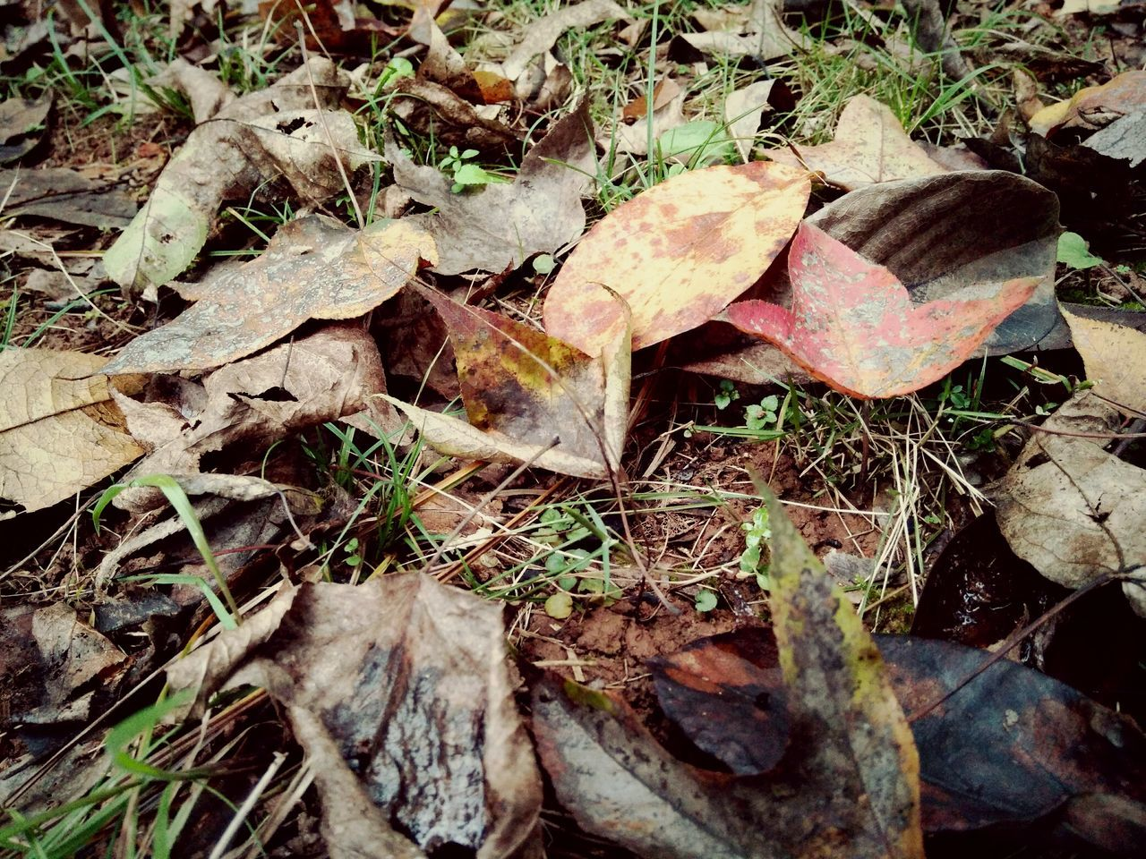 leaf, autumn, change, dry, nature, fallen, day, outdoors, high angle view, no people, fragility, field, close-up, forest, beauty in nature, maple