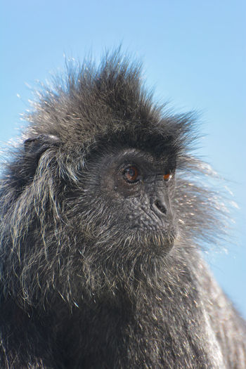 Animal Wildlife Animals In The Wild Close-up Mammal No People One Animal Portrait Primate Silvered Leaf Monkey