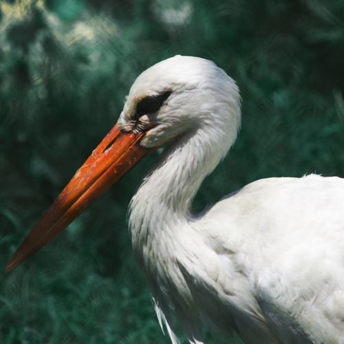 One Animal Animals In The Wild Beak Bird Animal Themes Focus On Foreground Close-up Day No People Animal Wildlife Nature Outdoors Water White Stork