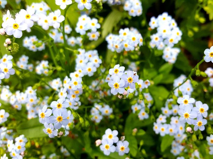 Close-up of blue forget-me-not flowers blooming in park