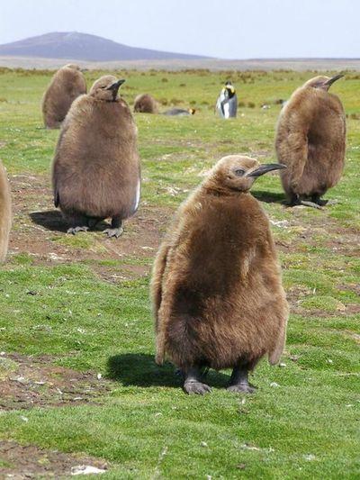 King Penguin Chick Falkland Islands Volunteer Point