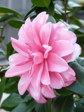 Camellia Camellia Beauty In Nature Camellia Flower Camellia Flowers Close-up Day Flower Flower Head Flowering Plant Focus On Foreground Fragility Freshness Growth Inflorescence Leaf Nature No People Outdoors Petal Pink Color Plant Plant Part Vulnerability
