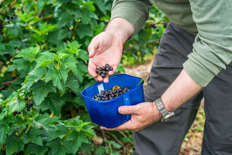 Midsection of man harvesting berries