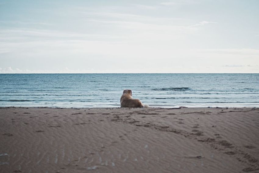 Philosophical dog Dog Golden Retriever Scotland Aberdeenshire Balmedie Beach Thinking Sea Beach Animal Wildlife Animal Nature Animals In The Wild Sand Mammal Horizon Over Water Water No People Outdoors Beauty In Nature Animal Themes Day