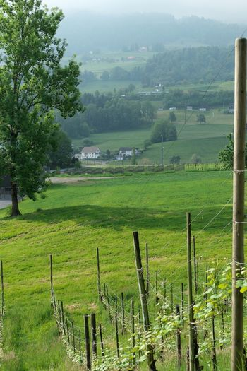 Landscape Plant Environment Land Tranquil Scene Beauty In Nature Tree Scenics - Nature Tranquility Rural Scene Green Color Agriculture Growth Nature Farm Day No People Barrier Grass Outdoors Plantation Wooden Post Winemaking