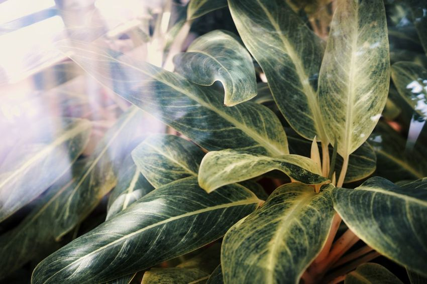 Plants Exotic Plants Tropical Plants Juxtaposition Abstract Backgrounds Abstract Leaf Leaf Vein Leaves Green Green Color Growth Close-up Growing Plant Life