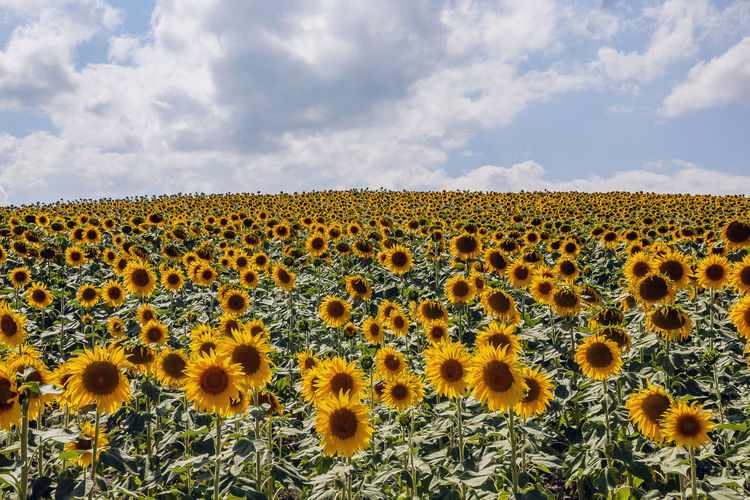Yellow Plant Sunflower Beauty In Nature Flower Sky Cloud - Sky Freshness Landscape Nature Flower Head Environment Flowering Plant Growth Fragility Inflorescence Day No People Field Vulnerability  Outdoors Pollen