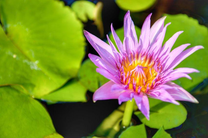 thai lotus Lotus Flower Nature Beauty In Nature Plant Lotus Blossom Lotus Flower Water Lotus Thai Lotus Flower Petal