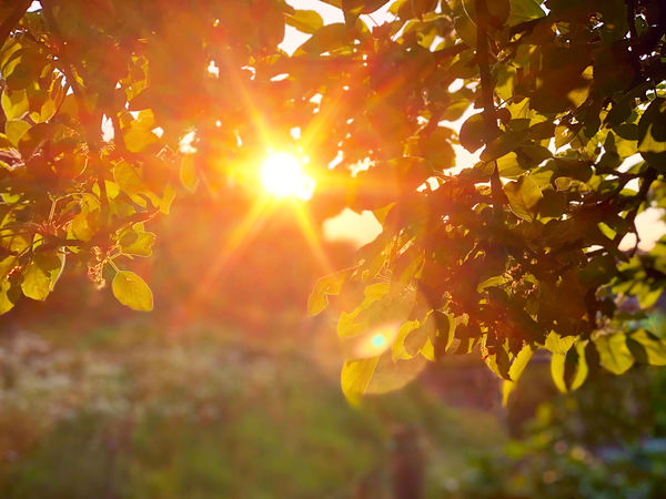 Evening light through the trees Autumn Beauty In Nature Branch Bright Change Close-up Day Focus On Foreground Freshness Growth Leaf Leaves Lens Flare Nature No People Orange Color Outdoors Plant Plant Part Plantation Streaming Sunbeam Sunlight Tranquility Tree