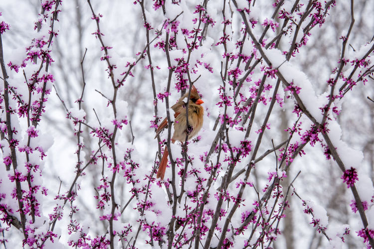 Bird Photography Cardinal Cardinal In Snow Female Cardinal Snow In Spring Animal Wildlife Animals In The Wild Beauty In Nature Bird Bird In Snow Birds No People One Animal Redbud Snow On Blossoms Tree