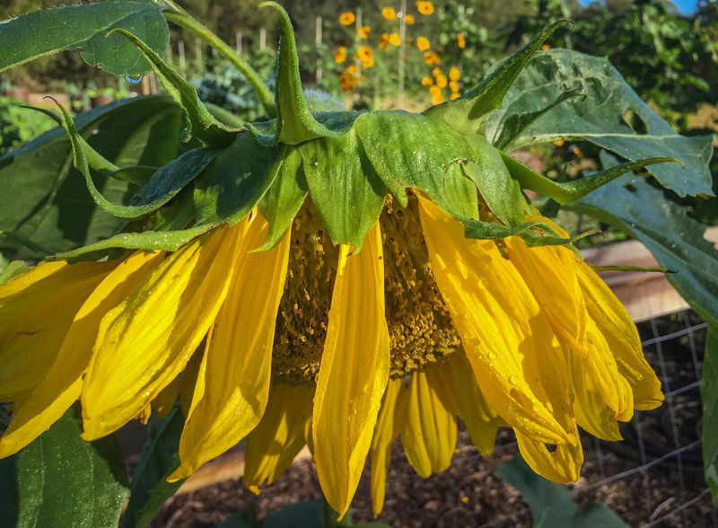 Sagging sunflower Beauty In Nature Blooming Close-up Drooping Drooping Flowers Flower Flower Head Fragility Freshness Growth Nature No People Outdoors Petal Plant Sagging  Sunflower Sunflower Sunflowers Yellow